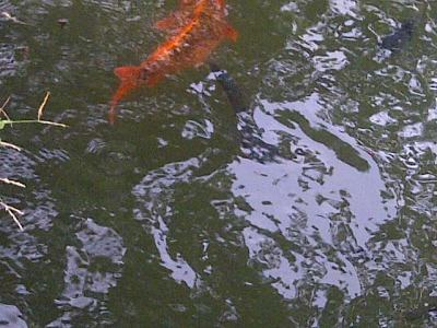 Can you see the orange and black fish just beneath the surface?