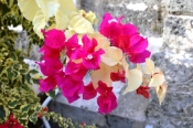 bouganvillea_small-file.jpg