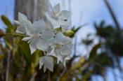 cluster of white flowers, codrington college, barbados