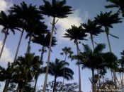tall palm trees at Codrington College